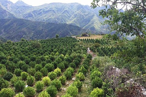 Cannabis-Plantage in Nordalbanien (Quelle: Albanische Polizei, 2016)