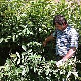 Die Walnuss-Setzlinge sind bereit zum Auspflanzen
